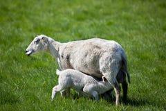 Nursing Lamb Royalty Free Stock Photos