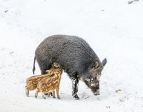 Nursing Mommy Boar With Two Piglets Drinking Milk in the Snow stock photo