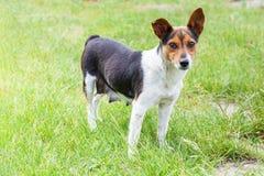 Nursing mongrel dog outdoors. Nursing mongrel dog stands among green grass Stock Images