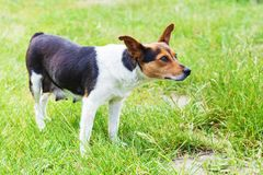 Nursing mongrel dog outdoors. Nursing mongrel dog stands among green grass Stock Image
