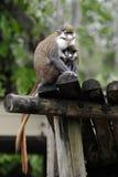 Nursing Monkey Stock Photo