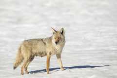Nursing mother coyote in snow in winter Stock Photos