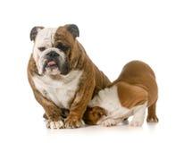 Nursing mother dog Stock Images