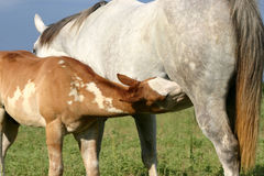Nursing Paint Foal. Paint foal nursing, gray mare, in green pasture Stock Photo