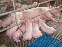 Nursing Piglets. Pic of Nursing Piglets in stable Royalty Free Stock Image
