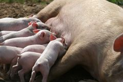 Nursing pigs Stock Photo