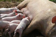 Nursing pigs. Feeding time stock photo