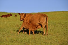Nursing Red Angus cow and calf Stock Images