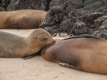 Nursing Sea Lion Royalty Free Stock Photography
