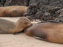 Nursing Sea Lion royalty free stock photography