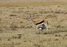 Nursing Thomson's Gazelle. A female Thomson's Gazelle nursing it's baby Stock Images