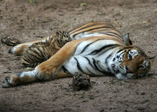Nursing Tiger  Royalty Free Stock Images
