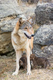 Nursing timber wolf Stock Images