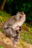 Nursing Wild Macaque Royalty Free Stock Photography