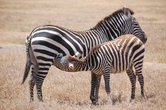 Nursing Zebra and Mother Stock Photo