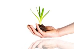 Nurtured Plant Held Over Water Royalty Free Stock Image