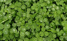 Nurturing Growth!. Green clover covered with large water droplets after a rain storm providing vital part for strong growth Royalty Free Stock Photo