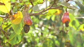 Nuss-Baum-Acajoubaum-wachsende Nüsse Busuanga, Palawan, Philippinen Lizenzfreies Stockbild