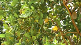 Nuss-Baum-Acajoubaum-wachsende Nüsse Busuanga, Palawan, Philippinen Lizenzfreie Stockbilder