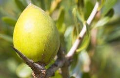Nust d'argan sur les arbres au Maroc Photo stock