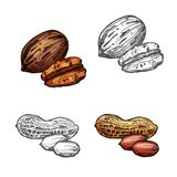 Nut and bean isolated sketch of peanut and pecan. Nut and bean isolated sketch with peanut and pecan. Whole and peeled mexican nut kernel and groundnut seed vector illustration