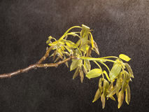 Nut branch in the rain Stock Image