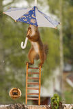Nut busstop. Close up of  red squirrel  holding an umbrella in the rain standing on stairs Stock Photography