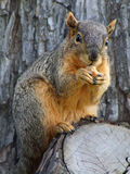 Nut eating Squirrel Royalty Free Stock Images