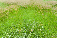 Nut grass, Cocograss Stock Photography
