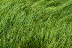 Nut grass, Purple nutsedge, Nutsedge, Cocograss Royalty Free Stock Photography