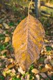 Nut leaf. In autumn mornig light Stock Photos