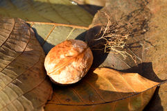 Nut on the leaves Royalty Free Stock Image