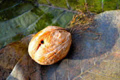 Nut on the leaves Stock Photos
