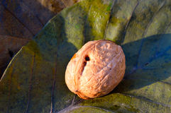 Nut on the leaves Royalty Free Stock Photos