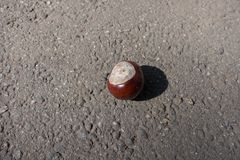 Nut-like seed of horse chestnut tree. Nut like seed of horse chestnut tree Royalty Free Stock Image