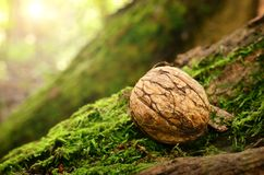 Nut on a mossy ground Royalty Free Stock Image
