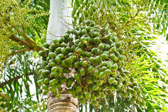 Nut Palm On Tree Royalty Free Stock Image