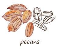 Nut pecans Royalty Free Stock Image