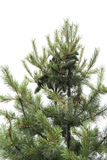 Nut pine on the top of tree Stock Photos