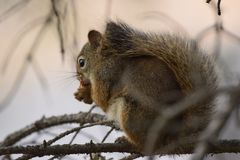 NUT`S ABOUT LUNCH . IN THE TREE royalty free stock photo