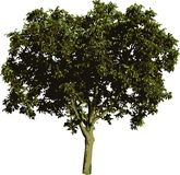 Nut tree. Vector illustration of the nut tree Stock Images
