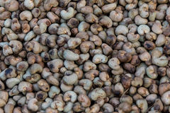 Nut Tree Cashew Growing Nuts Royalty Free Stock Photography