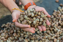 Nut Tree Cashew Growing Nuts Stock Images