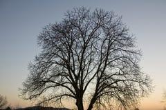 Nut tree crown. On sunset Stock Image