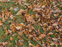 Nut tree dead leafs Royalty Free Stock Photography