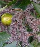 Larvae Cluster. Caterpillars leaves infestation insects nut tree cluster many worms insects caterpillars larvae Stock Image