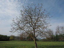 Nut tree in a meadow over blue sky Stock Images