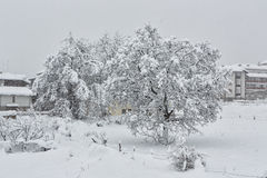 Nut tree which is filled up by snow Stock Images