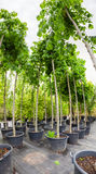 Nut trees in plastic pots on tree nursery Royalty Free Stock Photo