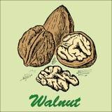 Nut walnut Stock Images